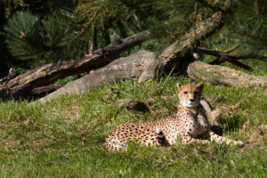 Overloon cheeta