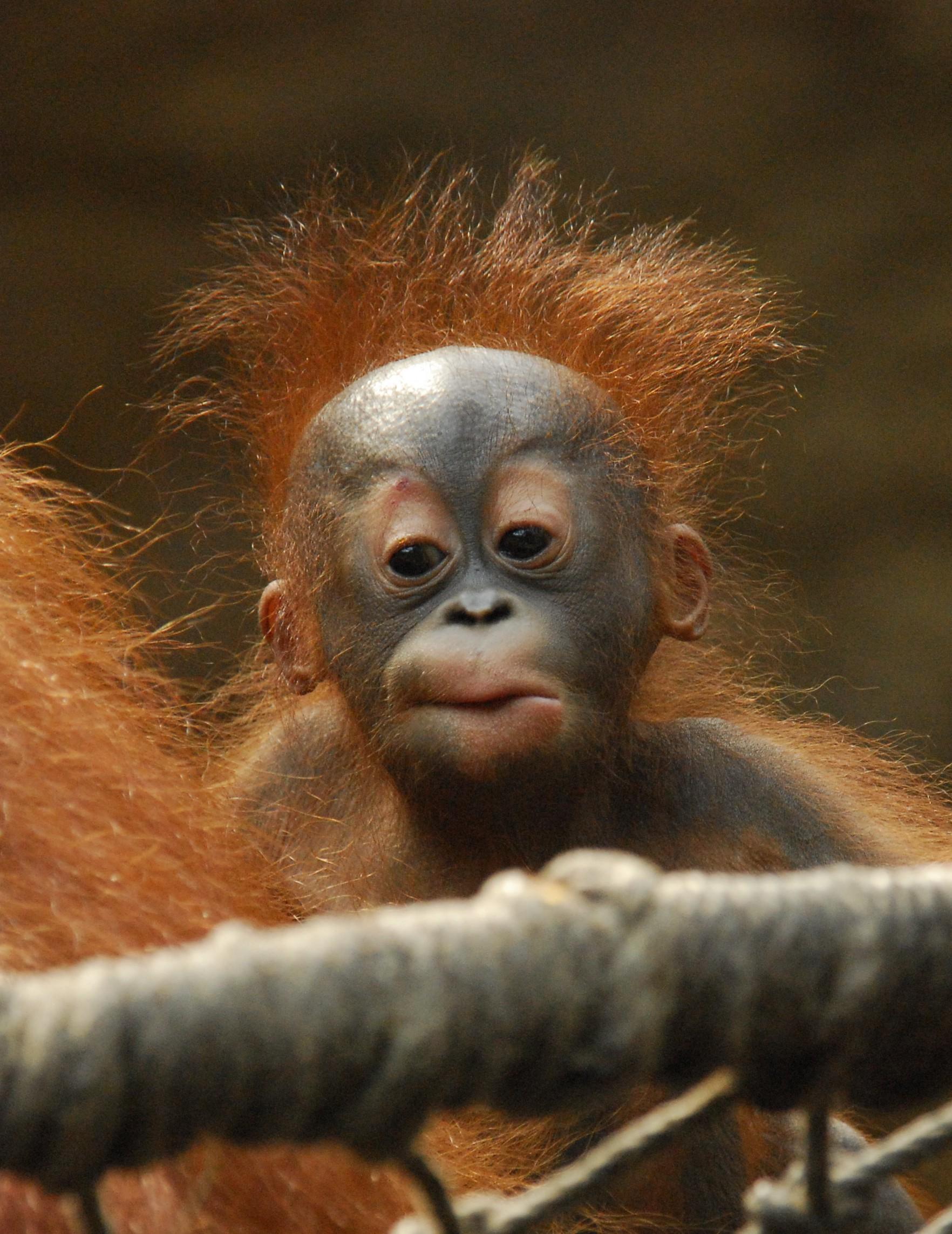 Spreekbeurt orangutan infant portrait christoph matzke