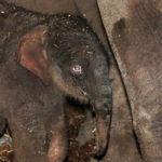 olifantje-geboren-in-artis-foto-artis-ronald-van-weeren