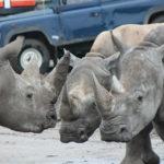 11-kennismaking-neushoorns