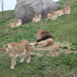 Leeuwenberg in Serenga. Foto: WILDLANDS Adventure Zoo Emmen