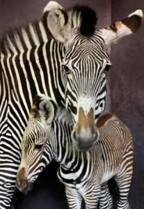 Zebra Saraya met haar pasgeboren veulen  Foto Artis Ronald van Weeren