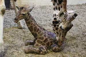 130318_tweede_girafje_geboren