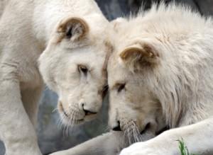 20130312_witte leeuwen