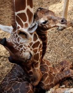 130411_blijdorp_girafje
