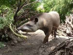 20130704_dpw_tapir