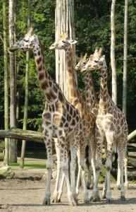 20140107_amersfoort_giraffe