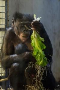 2014_apenheul_bonobo