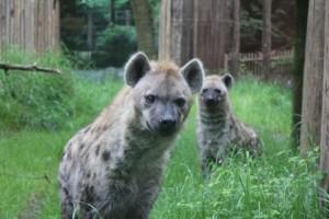 20140512_amersfoort_hyena