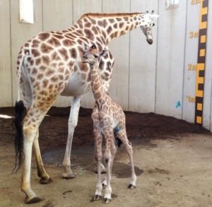 20140520_gaiazoo_giraf