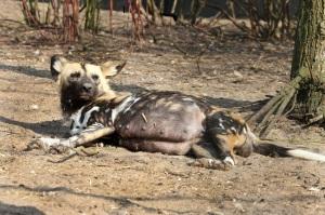 Drachtige Afrikaanse wilde hond in Artis  Foto Artis Ronald van Weeren