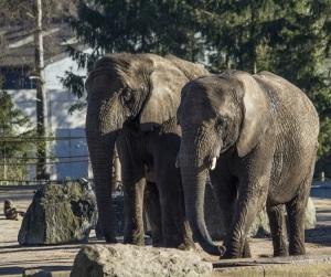 Olifanten Safaripark Beekse Bergen - FOTO (2)