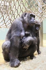 20141215_gorilla_jang