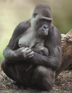 22-jan-2015-Gorilla-baby