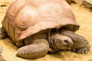 reuzenschildpad -Amersfoort