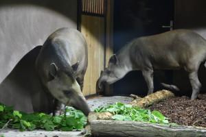 GaiaZoo_Binnenverblijf-Tapir