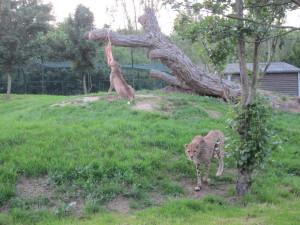 cheetas-dierenrijk