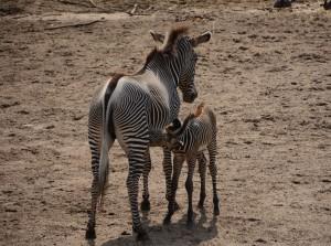 Zebrajong met moeder Shinda-Amersfoort