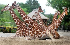Zomers groepsportret. Herkauwende giraffen in Artis (juli 2015). Foto Ronald van Weeren