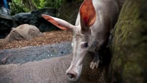aardvarken-geboren-in-BurgersZoo