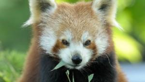 Panda, Blijdorp