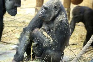 Westelijke laaglandgorilla geboren. Foto Artis, Ronald van Weeren