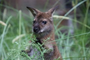 Jonge kangoeroe. Foto ARTIS Sem Viersen