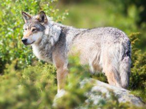 Wolf LR