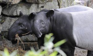 Maleise tapir tapirs Pooh en Vazan. Foto: Rob Doolaard/Diergaarde Blijdorp
