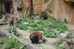 De bruine beren zoeken naar voedsel Foto: DierenPark Amersfoort