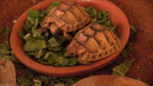 Twee jonge Egyptische landschildpadden