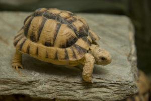 Volwassen exemplaar Egyptische landschildpad