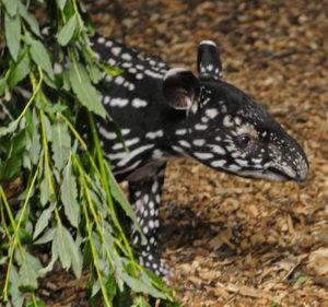 tapir blijdorp