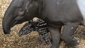 tapir blijdorp2