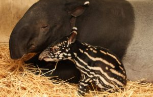 maleise-tapirkalf-in-artis-foto-artis-ronald-van-weeren