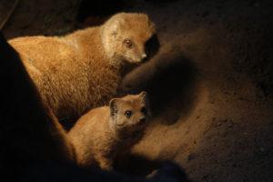 jonge-vosmangoest-met-moeder
