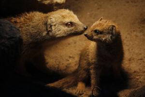 moeder-en-jonge-vosmangoest