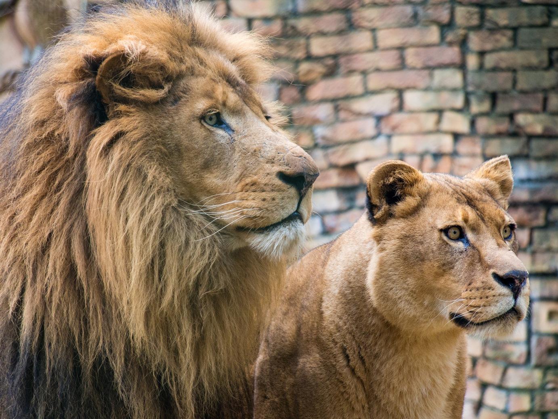Dierenpark Amersfoort Maakt Onderkomen Leeuwen Dubbel Zo